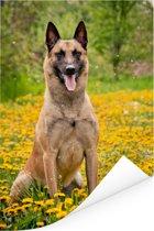 Mechelse herder tussen de gele bloemen Poster 120x180 cm - Foto print op Poster (wanddecoratie woonkamer / slaapkamer) / Huisdieren Poster XXL / Groot formaat!