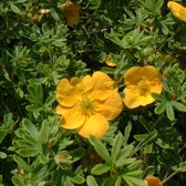 Potentilla Fruticosa 'Tangerine' - Struikganzerik:Heesterganzerik 20-25 cm pot