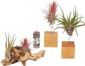 Choice of Green - Tillandsia's Luchtplant met Houder/op hout set van 3 stuks + Verzorgingsspray - Hoogte ↕ 17 cm