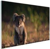Koala op de grond zonsondergang Glas 90x60 cm - Foto print op Glas (Plexiglas wanddecoratie)