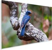Een Azuurvliegenvanger zit op een mooi takje Plexiglas 60x40 cm - Foto print op Glas (Plexiglas wanddecoratie)