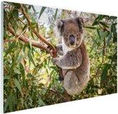 Koala in een boom Glas 90x60 cm - Foto print op Glas (Plexiglas wanddecoratie)