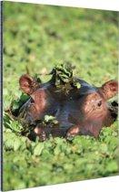 Nijlpaard in watersla Aluminium 60x90 cm - Foto print op Aluminium (metaal wanddecoratie)
