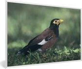 Foto in lijst - Treurmaina zit op de bosbodem fotolijst wit 60x40 cm - Poster in lijst (Wanddecoratie woonkamer / slaapkamer)