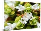 Close up van de witte bloemen van het worstkruid Aluminium 40x30 cm - klein - Foto print op Aluminium (metaal wanddecoratie)