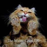 The Maine Coon Life