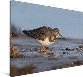 Steenloper opzoek naar voedsel Canvas 90x60 cm - Foto print op Canvas schilderij (Wanddecoratie woonkamer / slaapkamer)