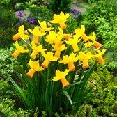 Narcis Mini Jetfire, Geel/Oranje per 750 stuks = 20-30m² - Bolmaat 10/11 - Geel - Oranje - Bloembollen