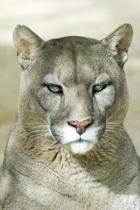 Puma Portrait Journal