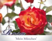 Rosa 'Mein München'