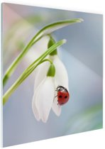 Lieveheersbeestje op een sneeuwklokje Glas 20x30 cm - klein - Foto print op Glas (Plexiglas wanddecoratie)