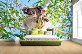 Fotobehang vinyl - Koala zittend op een boom breedte 380 cm x hoogte 265 cm - Foto print op behang (in 7 formaten beschikbaar)