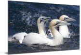Drie zwemmende jan-van-genten Aluminium 90x60 cm - Foto print op Aluminium (metaal wanddecoratie)