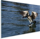 Een Canadese gans landt op het water Plexiglas 30x20 cm - klein - Foto print op Glas (Plexiglas wanddecoratie)