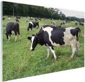 Zwart-witte koeien in weiland Glas 90x60 cm - Foto print op Glas (Plexiglas wanddecoratie)