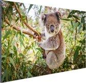 Koala in een boom Aluminium 180x120 cm - Foto print op Aluminium (metaal wanddecoratie) XXL / Groot formaat!