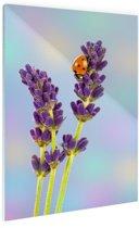 Lieveheersbeestje op lavendelbloem Glas 20x30 cm - klein - Foto print op Glas (Plexiglas wanddecoratie)