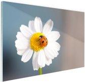 Lieveheersbeestje op een madeliefje Glas 30x20 cm - Foto print op Glas (Plexiglas wanddecoratie)