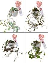 Set van 4 Verschillende Ceropegia Plantjes Lantaarnplantje