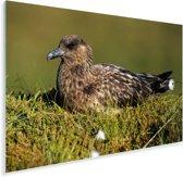 Een vrouwelijke grote jager in haar nest Plexiglas 90x60 cm - Foto print op Glas (Plexiglas wanddecoratie)