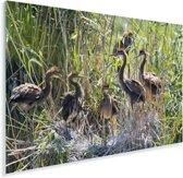 Jonge purperreigers in hun nest Plexiglas 30x20 cm - klein - Foto print op Glas (Plexiglas wanddecoratie)