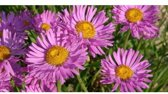 12 stuks Aster alpinus 'Happy End'
