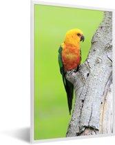 Foto in lijst - Een oranje Zonparkiet zit op een boom fotolijst wit 40x60 cm - Poster in lijst (Wanddecoratie woonkamer / slaapkamer)