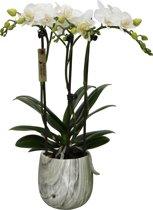 Mini orchidee in Marmere pot