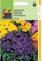 Zonnewende Marine - Heliotropium peruvianum - set van 6 stuks