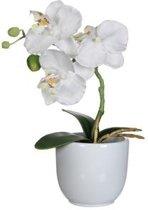Phalaenopsis/orchidee H26 In Pot