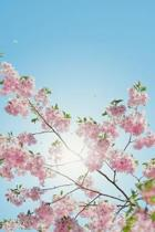 Spring Cherry Blossom Notebook - Beautiful Japanese Sakura - 120 Lined Pages Journal
