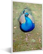 Foto in lijst - Close-up van een blauwe pauw fotolijst wit 40x60 cm - Poster in lijst (Wanddecoratie woonkamer / slaapkamer)