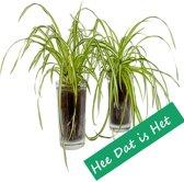 Hee Dat Is Het | 2 x Chlorophytum mix in vaasglas | Hoogte 20 cm