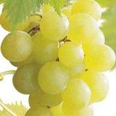 Vitis vinifera Himrod