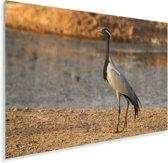 Jufferkraanvogel aan het water Plexiglas 30x20 cm - klein - Foto print op Glas (Plexiglas wanddecoratie)