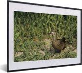 Foto in lijst - Blauwvleugeltaling met een groene achtergrond fotolijst zwart met witte passe-partout klein 40x30 cm - Poster in lijst (Wanddecoratie woonkamer / slaapkamer)