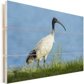 De witte ibis in het groene gras Vurenhout met planken 90x60 cm - Foto print op Hout (Wanddecoratie)