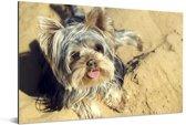 Yorkshire Terrier op het strand Aluminium 30x20 cm - klein - Foto print op Aluminium (metaal wanddecoratie)