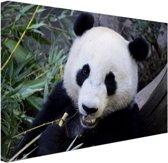 Etende panda Canvas 80x60 cm - Foto print op Canvas schilderij (Wanddecoratie woonkamer / slaapkamer) / Dieren Canvas Schilderijen