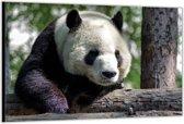 Dibond –Panda– 120x80 Foto op Aluminium (Wanddecoratie van metaal)