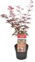 Acer palmatum 'Atropurpureum'; Totale hoogte ±70cm incl. Ø19cm pot   Japanse esdoorn