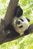 Panda Tree Blank Book Lined Journal (4x6)