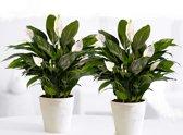 Luchtzuiverende Kamerplant - Spathiphyllum 15 cm - 2 Stuks