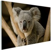 Portret rustende koala Glas 120x80 cm - Foto print op Glas (Plexiglas wanddecoratie)