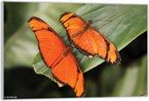Plexiglas – Twee Oranje Vlinders– 60x40 (Wanddecoratie op Plexiglas)