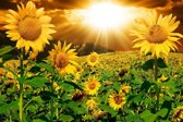 Papermoon Sunflowers Vlies Fotobehang 200x149cm 4-Banen