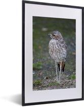 Foto in lijst - Een mooie gevlekte griel in de natuur fotolijst zwart met witte passe-partout 40x60 cm - Poster in lijst (Wanddecoratie woonkamer / slaapkamer)