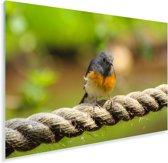 Shamalijster zit op een touw Plexiglas 60x40 cm - Foto print op Glas (Plexiglas wanddecoratie)