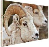 Dikhoornschapen foto Hout 160x120 cm - Foto print op Hout (Wanddecoratie) XXL / Groot formaat!