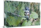 Een Bandijsvogel tussen de groene bladeren Aluminium 60x40 cm - Foto print op Aluminium (metaal wanddecoratie)